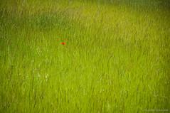Destacada (SantiMB.Photos) Tags: 2blogger 2tumblr 2ig amapolas poppies prado meadow alpens lluans osona sal18250 geo:lat=4210972406 geo:lon=208792262 geotagged primavera spring cataluna espaa esp