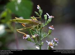 Scudder's Bush Katydid (Tettigoniidae, Scudderia sp.) (insectsunlocked) Tags: orthoptera tettigoniidae phaneropterinae scudderia scuddersbushkatydid