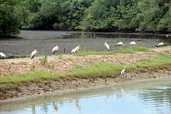 Störche und Reiher (Yukkuriko) Tags: singapore singapur bearbeitet sungeibuloh sungeibulohwetlandreserve störche storks reiher seidenreiher egret