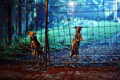 From The Grasshopper's Den (N A Y E E M) Tags: dogs gate friendshouse lastnight midnight light atmosphere guards street jamalkhanroad chittagong bangladesh availablelight bokeh