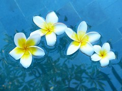 Frangipane flowers dropped into the pool and float! (PsJeremy) Tags: frangipane bali pool tropical chillax