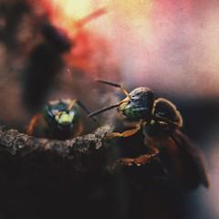 Abelhas (rvcroffi) Tags: mextures closeup olloclip macro insect inseto bee abelhas