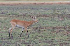 Rote Letschwe Antilope / Red Lechwe Antilope (brainstorm1984) Tags: botswana moremiwildreservat safari southernlechwe wildlife letschwe roterletschwe campmoremi redlechwe moremigamereserve desertdeltasafaris kobusleche okavangodelta northwestdistrict botsuana bw litschi
