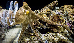 Octopus in motion (Victor Wong (sfe-co2)) Tags: sea underwater reef tropical ocean nature marine saltwater aquatic water color aquarium colorful vacation tourism rock travel life creature colour bottom coral outdoor animal fish swim octopus
