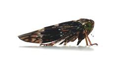 Jassida (XoMEoX) Tags: schnabelkerfe jassida jassidae zikade leafhopper cicadellidae cicada insecta insect insekt animal tier hemiptera macro fz50 panasonic raynox dcr250 membracoidea auchenorrhyncha makro cicadomorpha jasside jassiden m250 raynoxm250