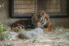 Death Stare (Miles McNamee) Tags: zoo animal deathstare tiger dczoo