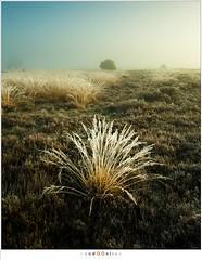 Winterbloem (nandOOnline) Tags: mist morning strabrecht koud sunrise december nature nevel landscape vorst zonsopkomst dauw natuur strabrechtseheide cold fog ochtend landschap frost heeze nbrabant nederland