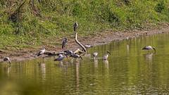 Asian Openbill Stork, Kaziranga National Park, India (bfryxell) Tags: asianopenbillstork birds india intermediateegret kaziranganationalpark wildlife assam