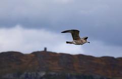 Herring gull (siebensprung) Tags: irland ireland nature natur herringgull gull seagull mwe silbermwe bird seabird seevogel vogel fliegen flying flight flug flgel wings animal wild wildtier tier