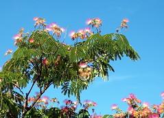 101_3171 (Cassiopée2010) Tags: albizia cévennes nature arbre