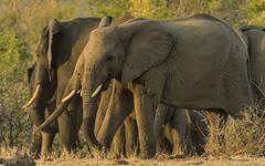 Look Right, Look Left (philnewton928) Tags: africanelephants africanelephant elephants elephant loxodontaafricana elephantherd herd mammal animal animalplanet wild wildlife nature natural shingwedzi kruger krugernationalpark africa southafrica outdoor outdoors safari nikon nikond7200 d7200 goldenhour sunset