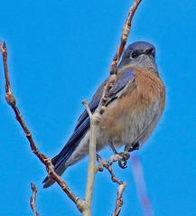 CAD0005157a (jerryoldenettel) Tags: 2016 bluebird calleloma nm passeriformes santafe santafeco sialia sialiamexicana turdidae westernbluebird bird passerine