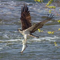 IMG_9126 Lucky Shad (cmsheehyjr) Tags: cmsheehy colemansheehy osprey bird hawk fishhawk jamesriver richmond virginia floodwall pandionhaliaetus