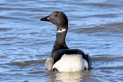 Brent Goose on the tide. (pstone646) Tags: bird nature animal sea water fauna whitstable kent wildlife wildfowl waterfowl reflection