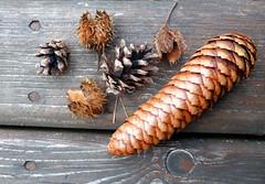 Gathering winter fuel (cu♥re di marmo) Tags: pinecones wood winterfuel beechnuts bucheckern tannenzapfen natur nature winter