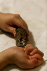 Rescued Baby Squirrel (MA) USA (lorislferrari) Tags: squirrel babysquirrel rescued