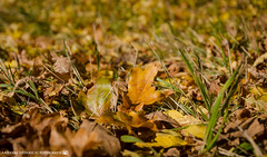 Fallen leaves on the side of the road. (andreasheinrich) Tags: nature leaves grass road autumn october sunny warm colorful germany badenwrttemberg neckarsulm dahenfeld deutschland natur bltter gras strase herbst sonnig farbenfroh nikond7000