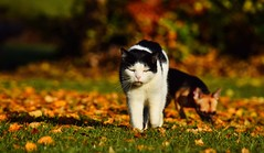 Autumnal Shiloh (lisheeny) Tags: autumn cat feline pet animal