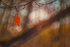 Einsam (Sascha Wolf) Tags: baum ast blatt leaf buche bokeh natur bunt