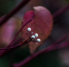 Luminx... (Omygodtom) Tags: white shade abstract art outdoors berry dof nikkor wow digital nature natural nikon d7100 nikon70300mmvrlens