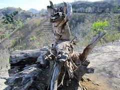 FALLEN (PINOY PHOTOGRAPHER) Tags: mati city davao oriental sur trunk mindanao philippines asia world