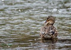 Mllard Duck - Female (dbking2162) Tags: duck ducks birds bird wildlife nature water wading fowl waterfowl indiana river female animal