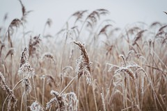 Frozen reed... (patricktures) Tags: frozen reed nature plant winter cold ice outside moor cloudy bokeh dry grass still