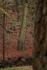 IMG_8925 (Geoff_B) Tags: badockswood bristol walkinthewoods autumn november unprocessed unedited