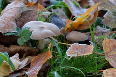 Winterwiese (Sockenhummel) Tags: fenn herbstbltter pilze reif pilz mushroom eis ice cold freezing frost rauhreif fuji x30 fujifilm finepix fujix30 herbst autumn fall winter natur volkspark bltter blatt leaf leaves kalt