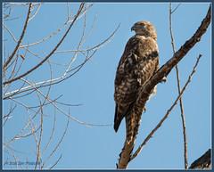Hawk at San Jacinto 9430 (maguire33@verizon.net) Tags: sanjacintowildlifearea bird hawk wetlands wildlife nuevo california unitedstates us