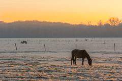 morning frost (stevefge) Tags: beuningen frost winter animals horses fields landscape light early reflectyourworld nl nederland netherlands nederlandvandaag gelderland