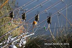 Rougegorge familier Erithacus rubecula - European Robin : Michel NOEL  2016-6801.jpg (Michel NOL 900k + views .Thanks to visits) Tags: rougegorge familier erithacus rubecula european robin