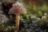 Eiszeit - tapfer trägt er seine kalte Last (AchimOWL) Tags: eis schnee reif gx80 pilz schärfentiefe natur nature lumix dmcgx80 olympus organischesmuster ngc macrodreams mushroom fungi muster textur outdoor stack minipilze nrw deutschland heiter postfocus