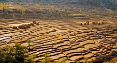 Fields of Gold (Shehzaad Maroof Khan) Tags: battagram fields autumn november terrace crop gold