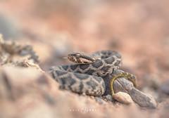 Moorish viper (Daboia mauritanica) (Kristian Bell) Tags: moorish viper daboia macrovipera mauritanica snake venomous reptile animal wild wildlife fauna morocco 2016 canon kris kristian bell