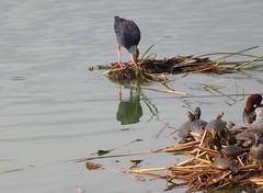 Purpurhuhn und Schildkröten am Süßwasserteich (fotoculus) Tags: vögel birds enten loiseaux purpurhuhn porphyrioporphyrio portugal algarve riaformosa quintadelago