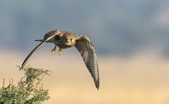 Lesser Kestrel (sunnyoberoi) Tags: lesserkestrel wildbird wings midair freeze raptors talchapar churu rajasthan india wildlifephotgraphy nature travel safari sanctuary