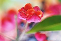 Spray of light (kiareimages1) Tags: euonymuseuropaeus flowers kiareimaginations colors images macroflowers macro artistic