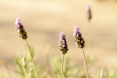 Grass (unuospp) Tags: ifttt 500px nature flower field grass summer flora outdoors no person closeup aromatherapy garden rural fair weather color floral bright wild herbal perfume