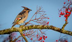 Bohemian Waxwing, male (dangerousdavecarper) Tags: bohemian waxwing male bird rowan red berries