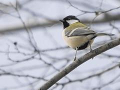 161211_GX7_1450777 (kuad9) Tags: bird