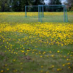 Football field (Ulf Bodin) Tags: football goal sweden soccer dandelion uppsala sverige rsta maskros ml uppsalaln spelplan canoneos5dmarkiii canonef70200mmf28lisiiusm