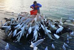 Feeding the Pelicans... (The Pocket Rocket) Tags: 8 southaustralia kangarooisland australianpelican silvergull pelecanusconspicillatus kingscote explore8 chroicocephalusnovaehollandiae