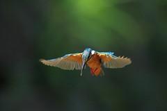 IMG_5686-S (Martine.liu) Tags: bird taiwan kingfisher