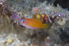 Mystery Fish #3 (maractwin) Tags: indonesia unknown komodo satondabay