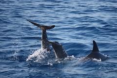 Dauphins  Biyadhoo Island (Maldives) (thiery49) Tags: sea mer island spring dolphin ile maldives dauphin printemps