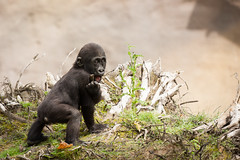 2014-06-28-11h45m57.272P8375 (A.J. Haverkamp) Tags: germany zoo gorilla muenster mnster munster dierentuin demba westelijkelaaglandgorilla httpwwwallwetterzoode pobmnstergermany canonef500mmf4lisiiusmlens dob13012013