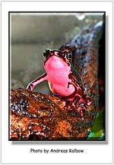 Atelopus (5) (Vogelfoto69) Tags: peru nature natur andreas frog toad frogs frosch terrarium harlequin equador frsche naturfreund sdamerika naturschutz profi mittelamerika naturfoto bedroht atelopus aussterben spumarius terraristik kppe hoogmoedi naturfilm kalbow naturdokumentation harlekinfrosch naturfilmer naturfotograph barbotini