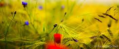 Sommerfarben (Rasenlatscher) Tags: sommer feld 85mm 5d morgen vorpommern mecklenburgvorpommern mohn 8512 85l rasenlatscher absolutegoldenmasterpiece