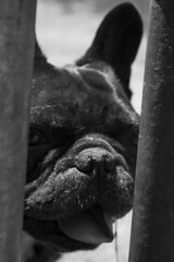 vader-cagney (Anne J Gibson) Tags: bulldog frenchbulldog vader dogwalker annejgibson homealonedogwalkingtoronto